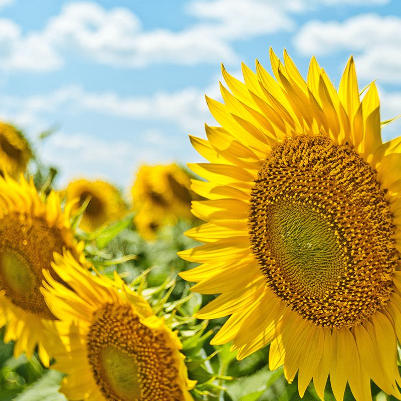 Vorlage für Vektorgrafik von Sunflowers